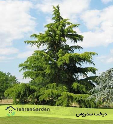 درخت سدروس